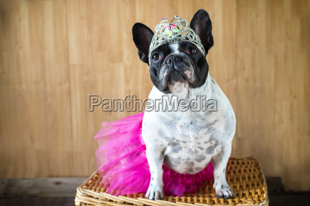 portrait of french bulldog dressed up