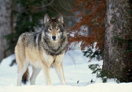 grey wolf canada