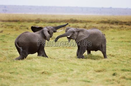 african elephants sparring amboseli national park