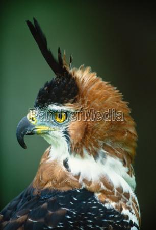 ornate hawk eagle mexico