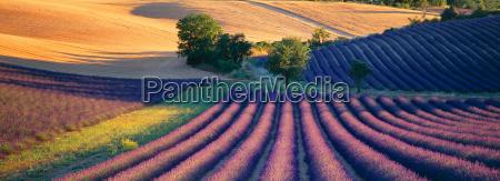 lavender fields sault provence france