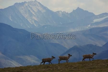 three caribou traverse a windswept ridge