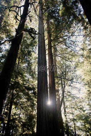 redwood trees california usa