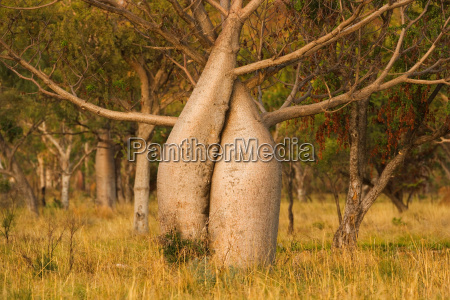 boab or australian baobab kimberley western
