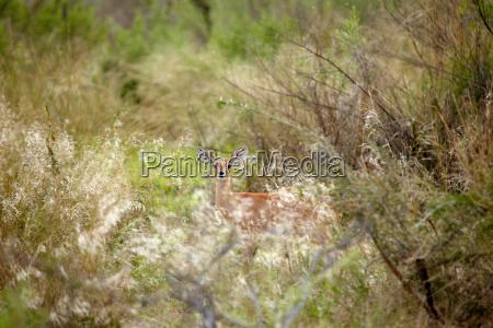 steenbok hiding in bushes okavango delta