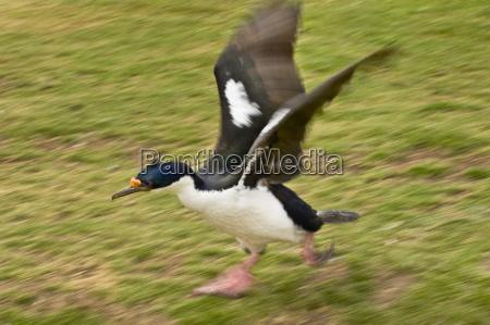 animal pajaro horizontalmente cormoran al aire