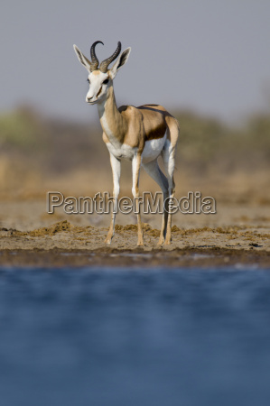 animal mamifero africa namibia al aire