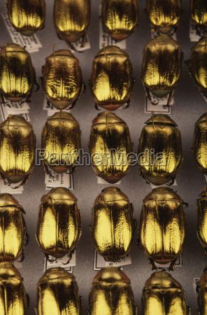 acuerdo ciencia animal insecto escarabajo america