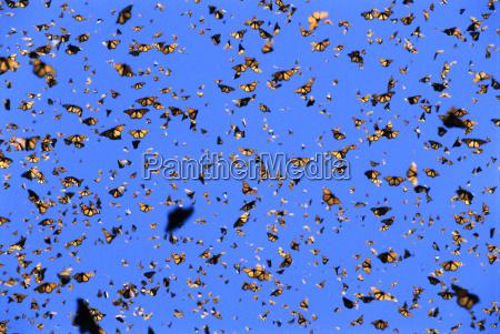 azul animal insecto mariposa horizontalmente america