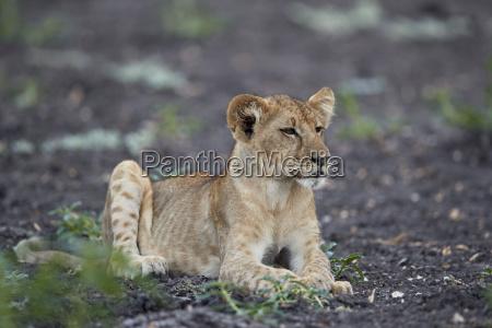 paseo viaje color africa leon gato